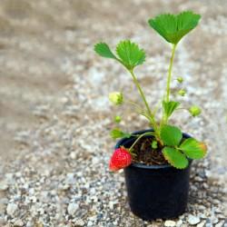 Saksıda Organik Çilek Paketi (15 adet)