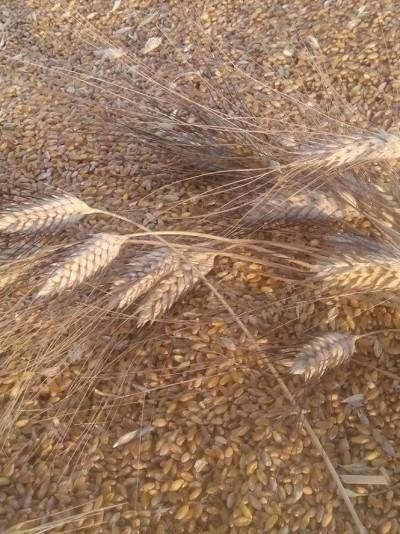 Karakılçık Buğday ( Tohumluk)1 Kg