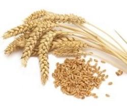 Orgagen Ambarı Organik Aşurelik Buğday 500 Gr