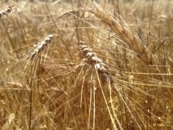 Yerel esmer tam buğday unu 1kg